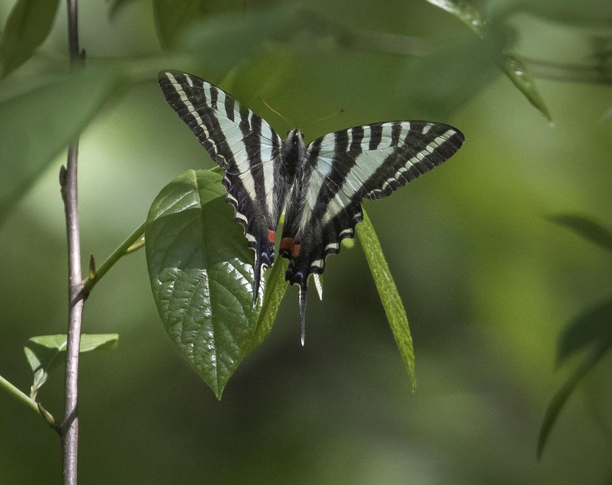 zebra swallowtail laying egg