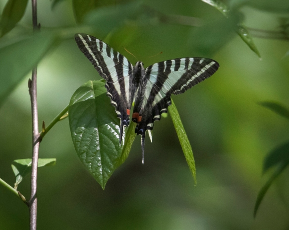 zebra swallowtail laying egg