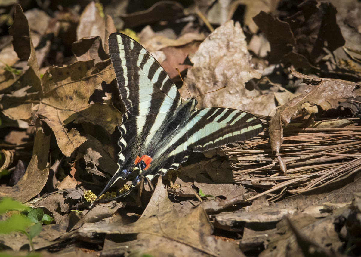 zebra swallowtail resting