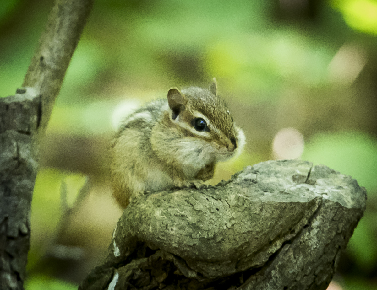 Chipmunk watching me