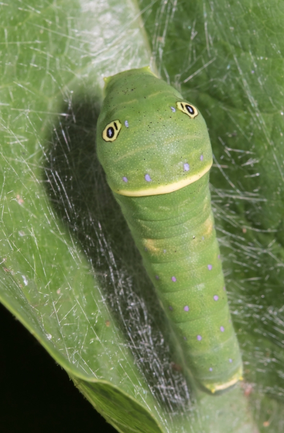 Eastern Tiger Swallowtail larva late instar swelling anterior po