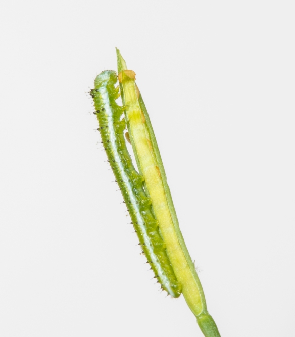Falcate Orange-tip caterpillar late stages on white background
