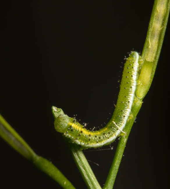 Falcate Orange-tip caterpillar late stages