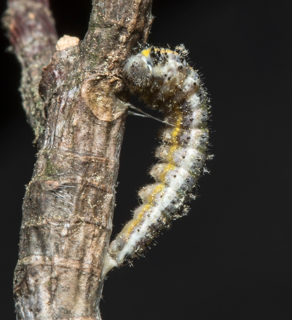 Falcate Orange-tip prepupa
