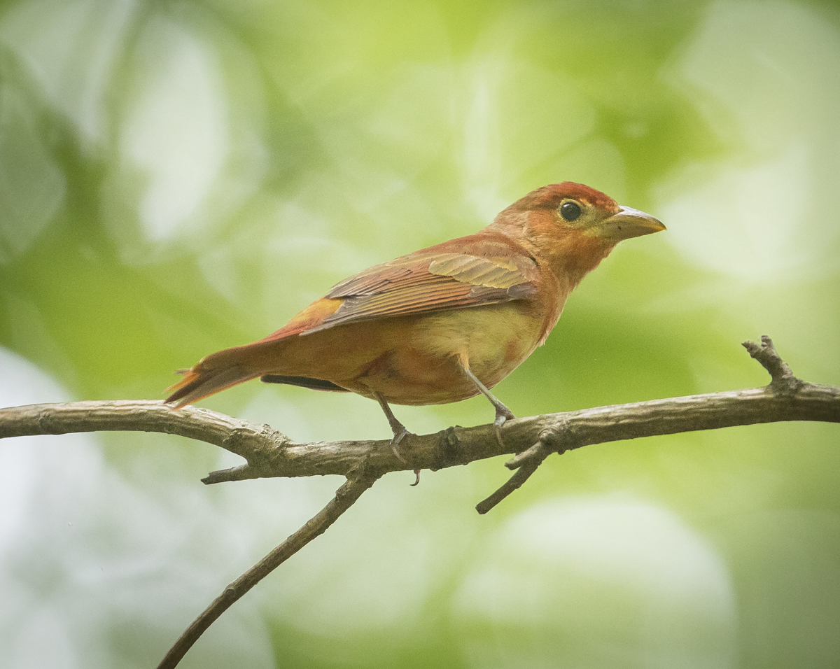 Immature male tanager