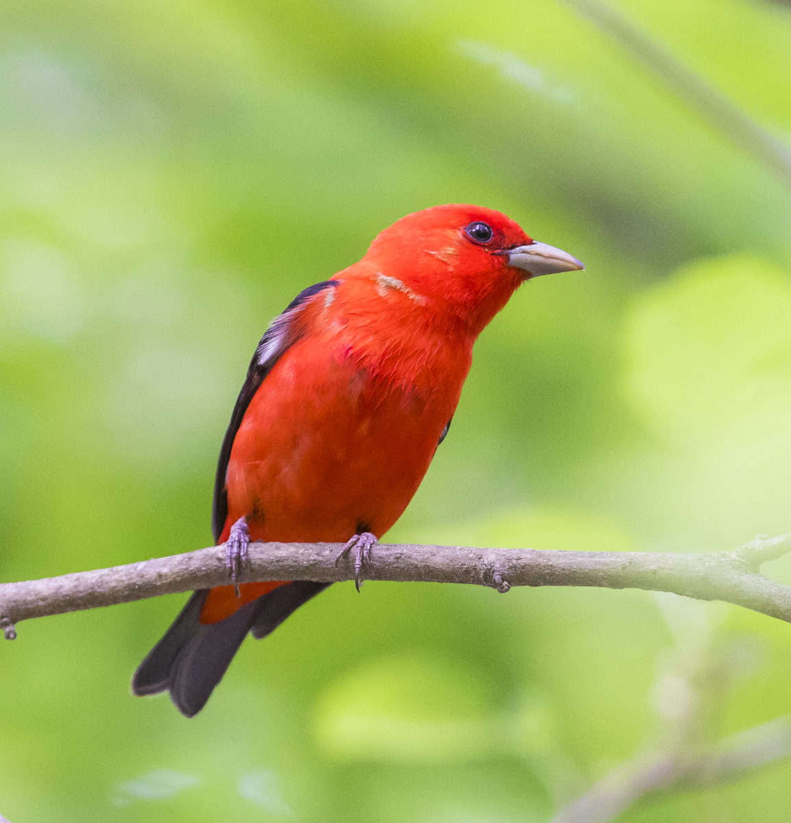 male scarlet tanager 1
