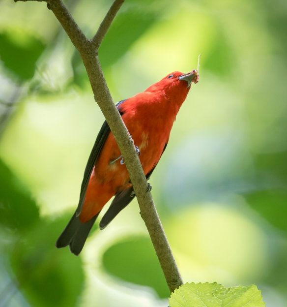 Male scarlet tanager with berry