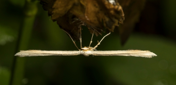 Plume moth top view