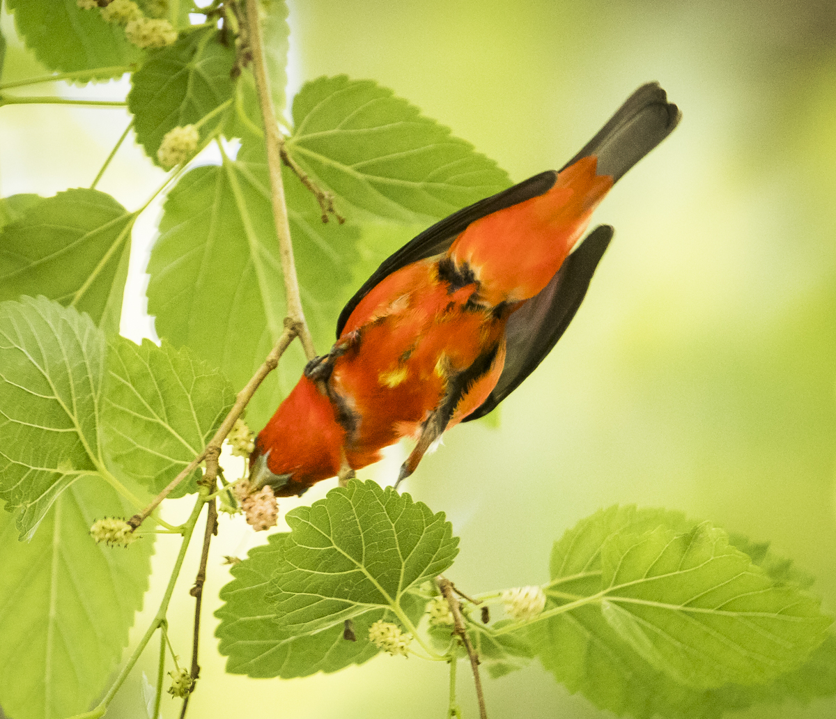 Scarlet tanager getting berry
