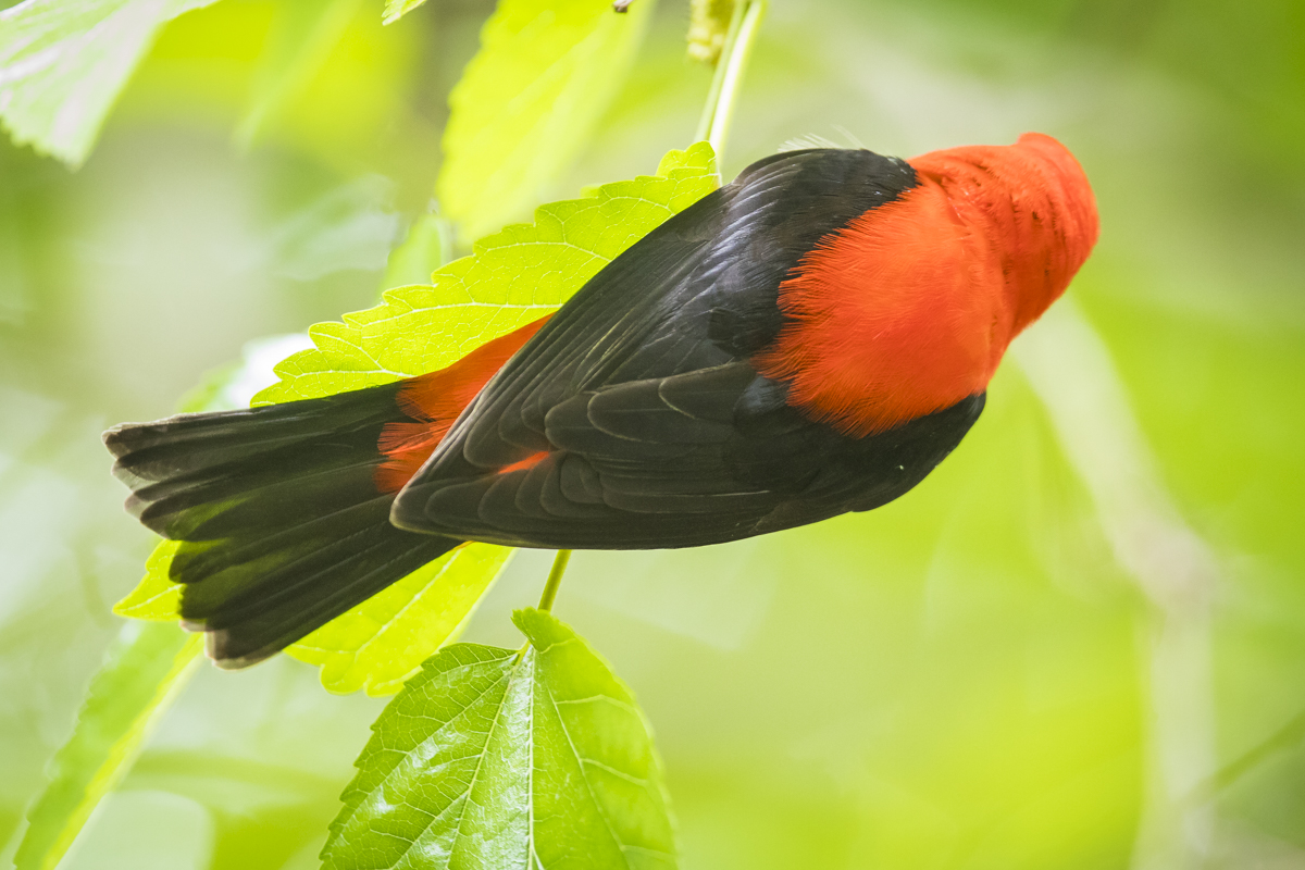 Scarlet tanager male dorsal view