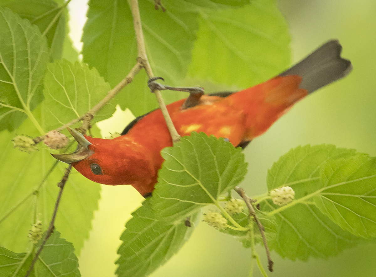 Scarlet tanager reaching for berry