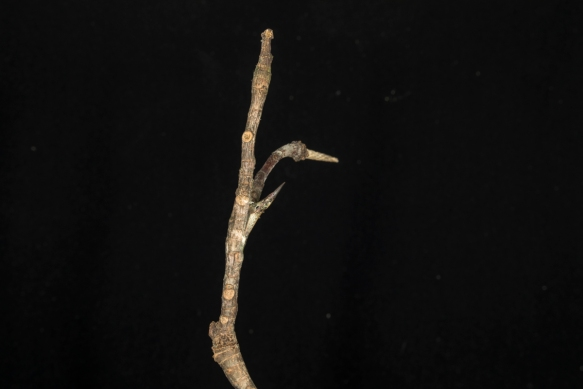 twig with chrysalis