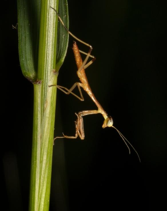 Baby mantis 1