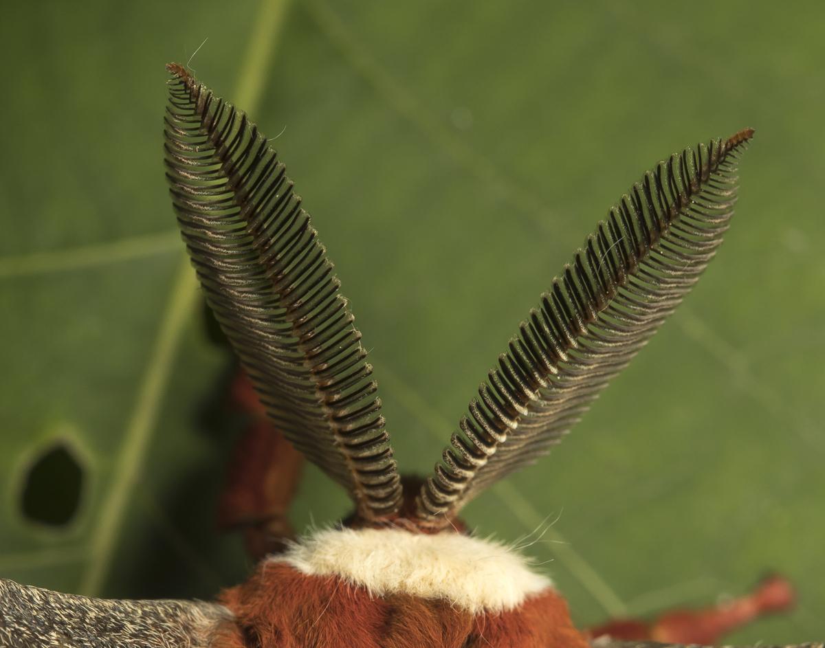 cecropia moth antenae