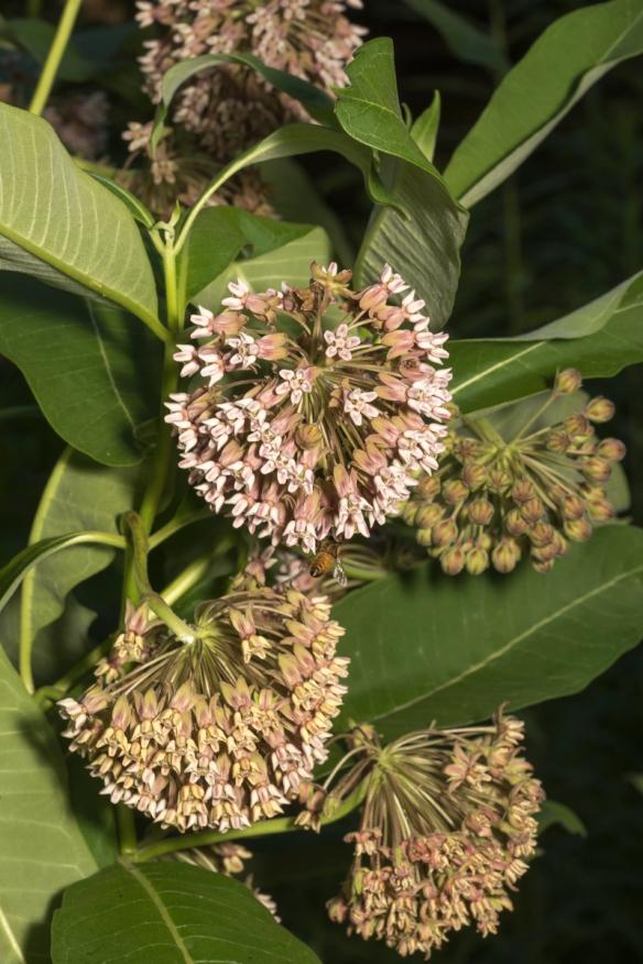 common milkweed flowers