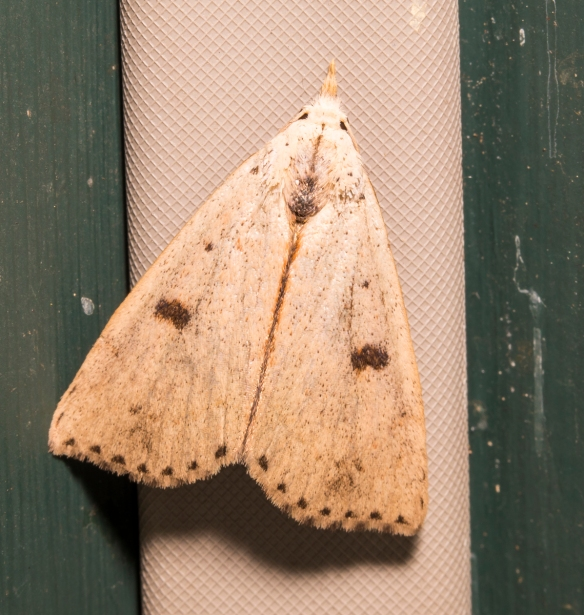 Deadwood borer moth, Scolecocampa liburna