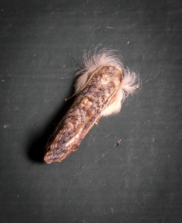 Frilly Grass Tubeworm, Acrolophus mycetophagus