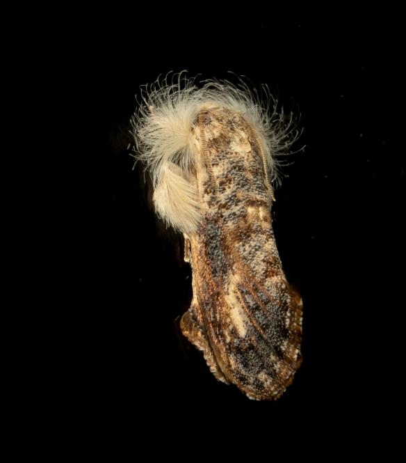 Frilly Grass Tubeworm on glass Acrolophus mycetophagus