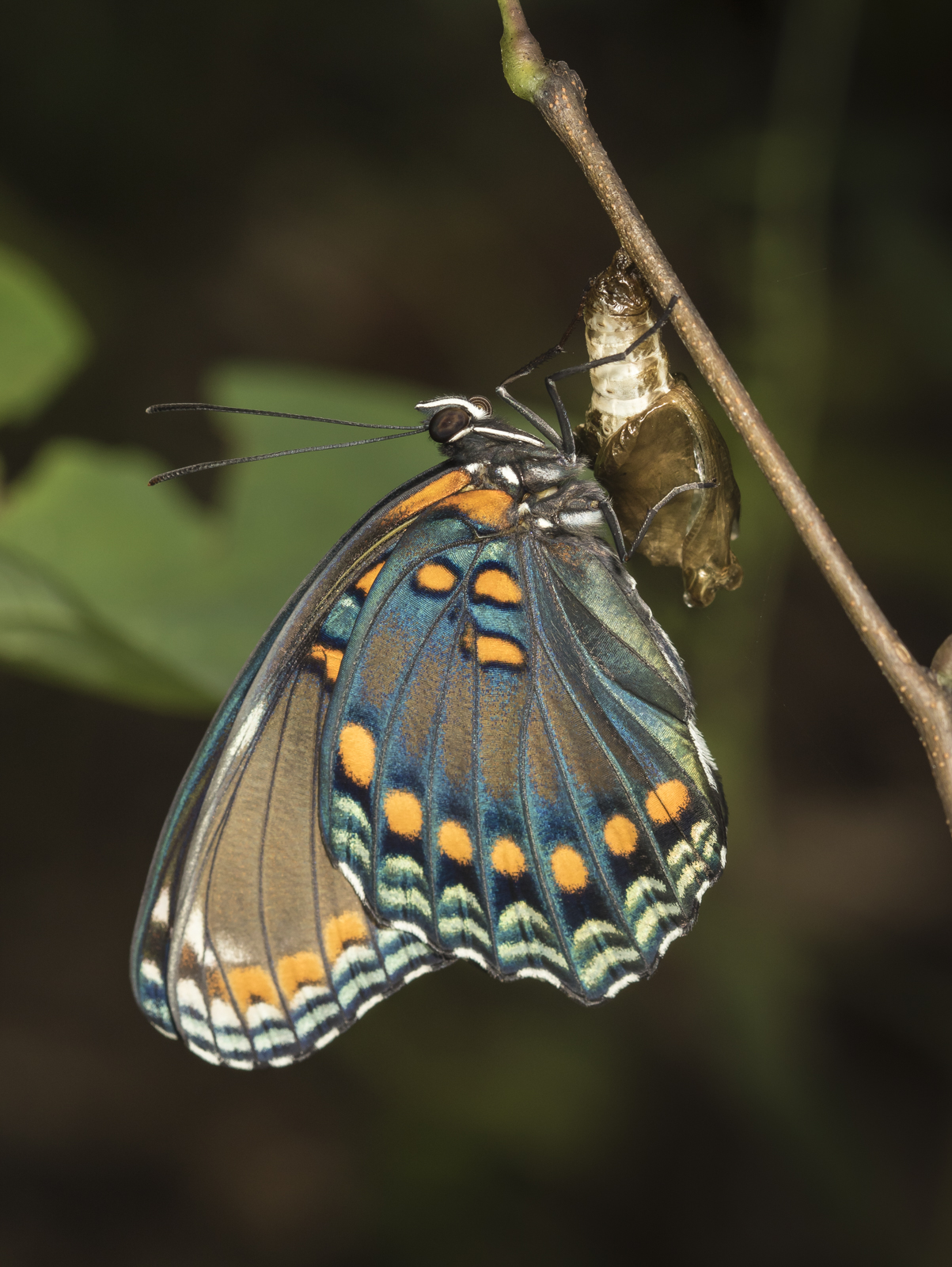 Red-spotted purple butterfly freshly emerged
