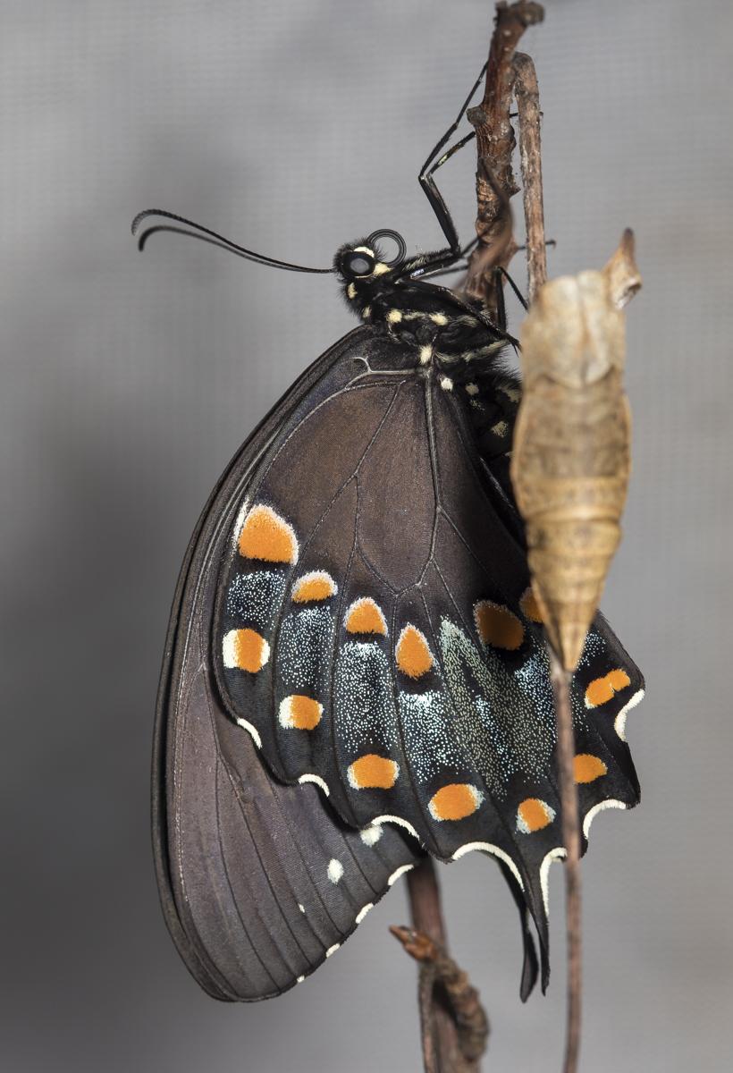spicebush swallowtail freshly emerged