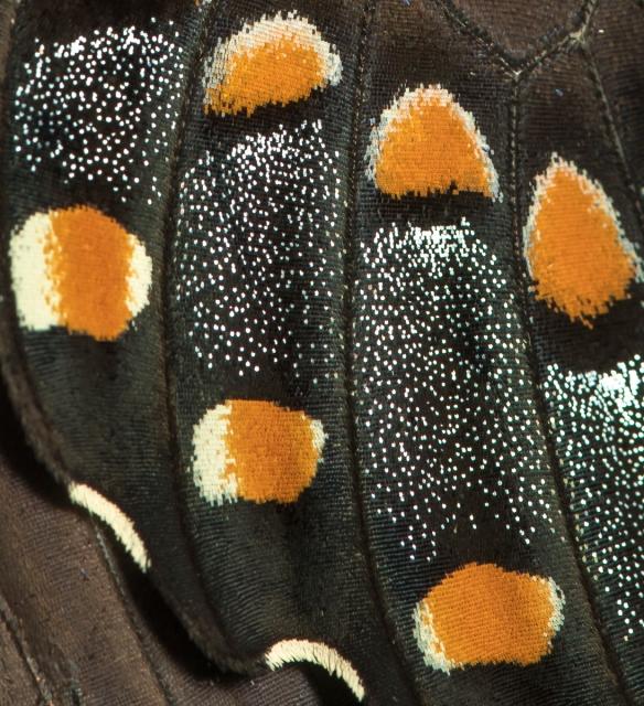 spicebush swallowtail wing detail
