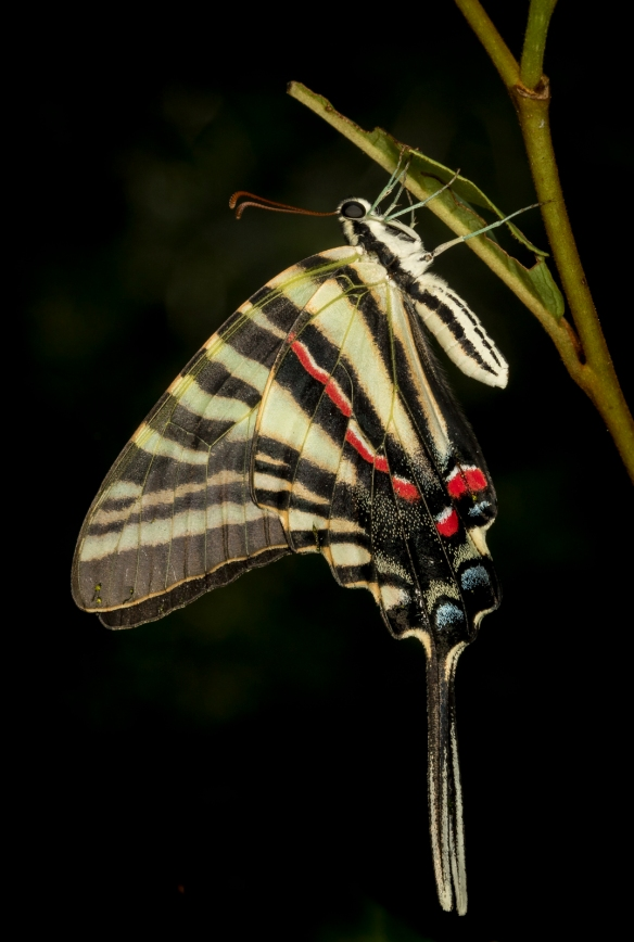 Zebra swallowtail shortly after emergence