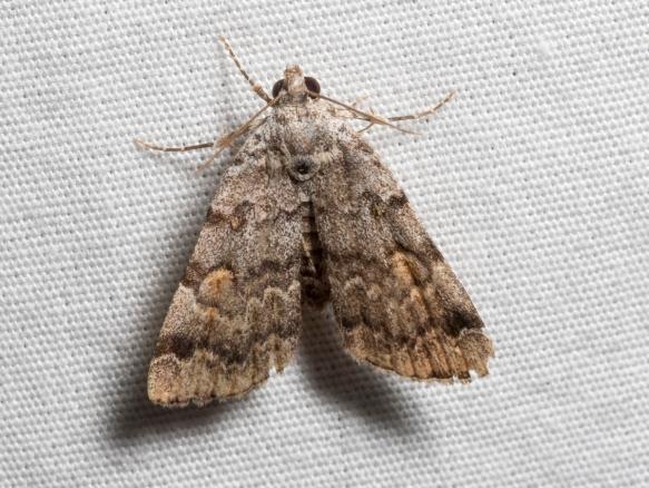 American Idia Moth, Idia americalis