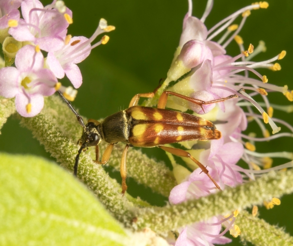 Banded Longhorn Beetle, Typocerus velutinus