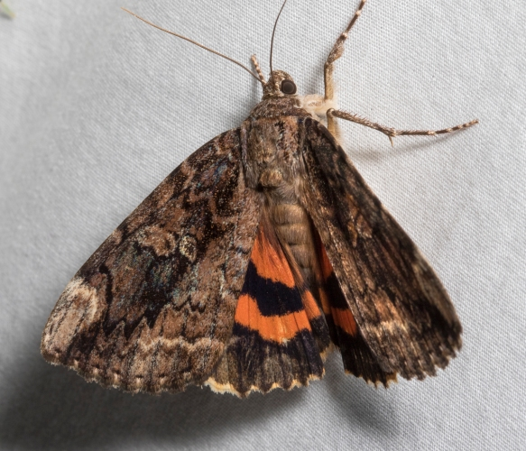 Betrothed Underwing, Catocala innubrens