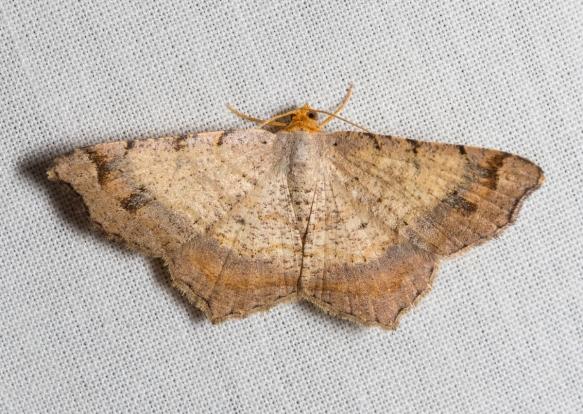 Bicolored Angle, Macaria bicolorata?