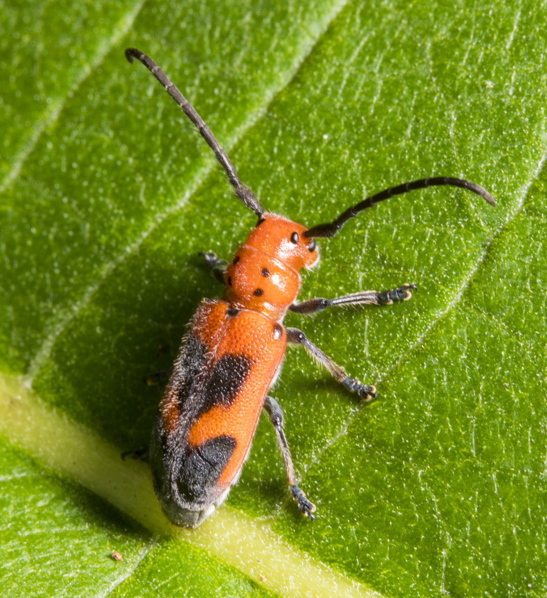 Blackened milkweed beetle showing pattern on dorsal surface?
