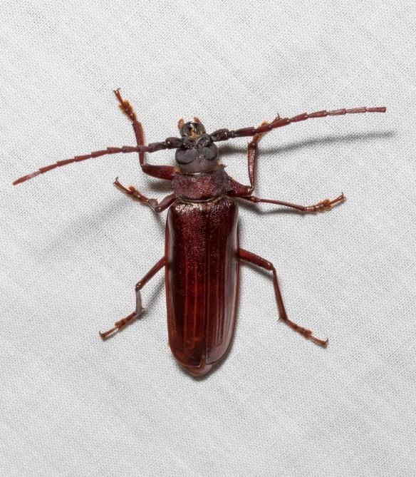 Brown Prionid Beetle, Orthosoma brunneum