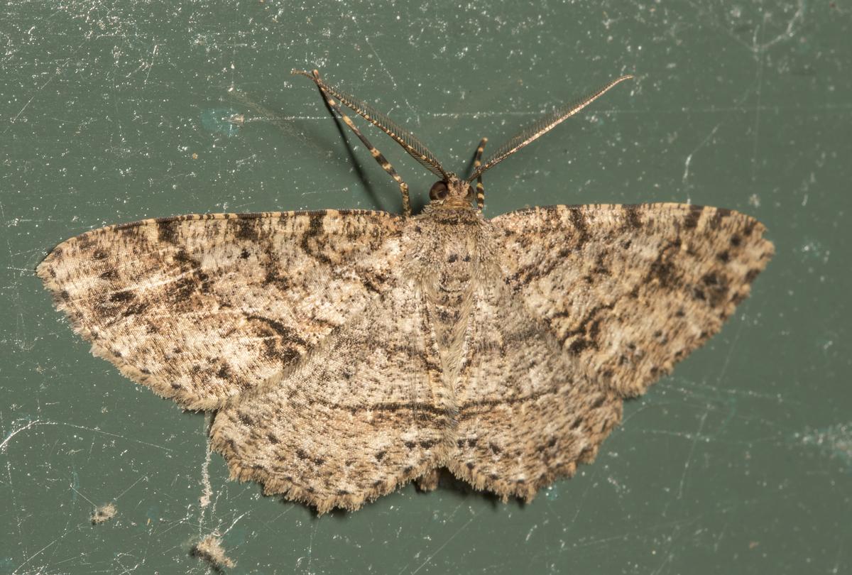 Canadian  Melanolophia Moth, Melanolophia canadaria
