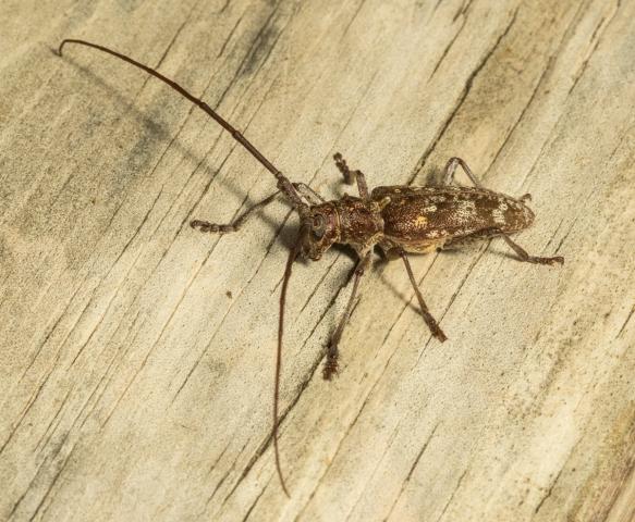 Carolina Pine sawyer, Monochamus carolinensis