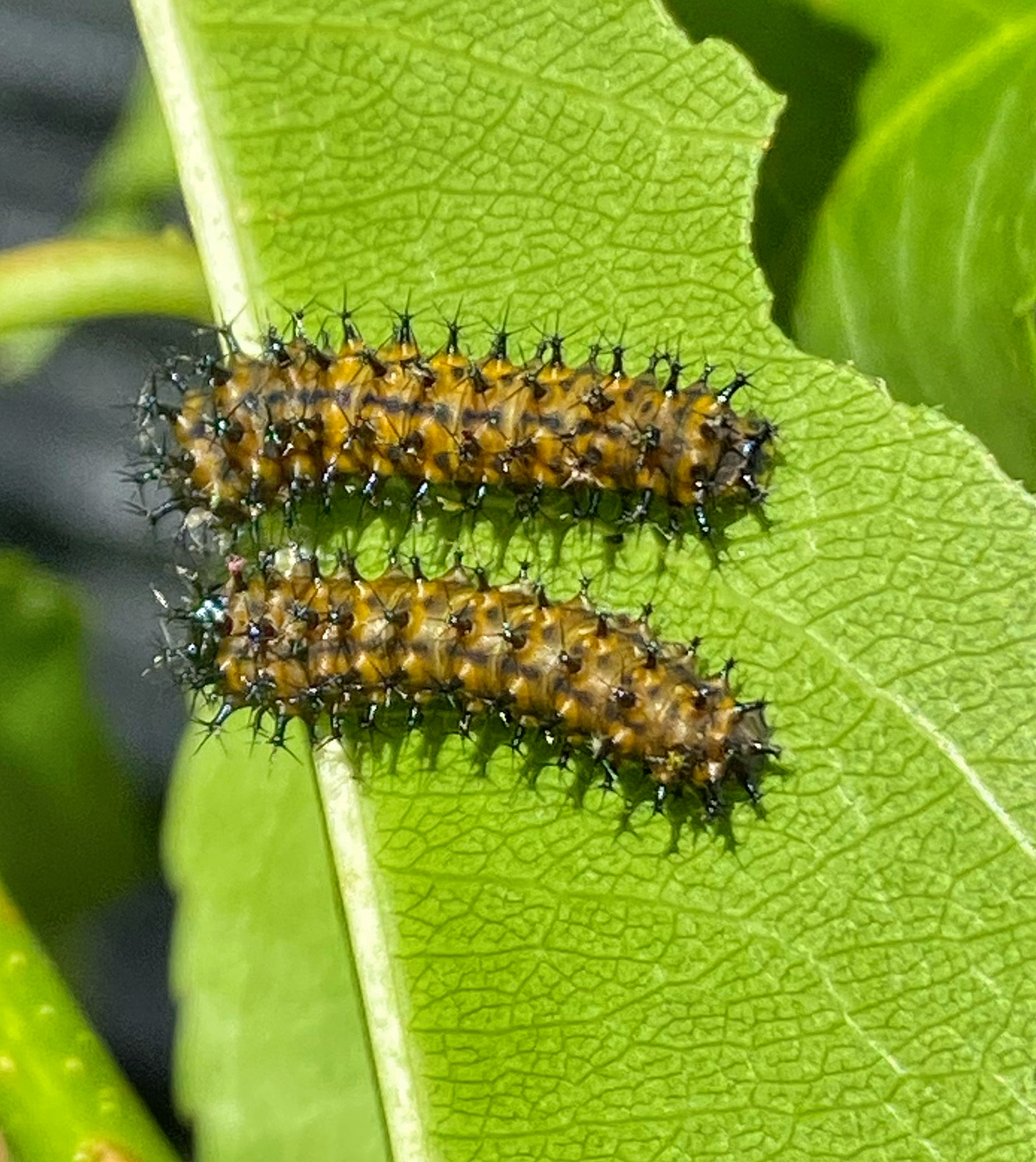 Cecropia larvae second instar