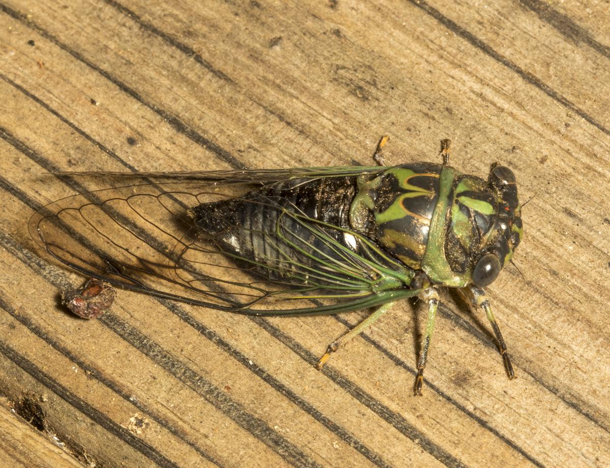 Cicada, Neotibicen sp