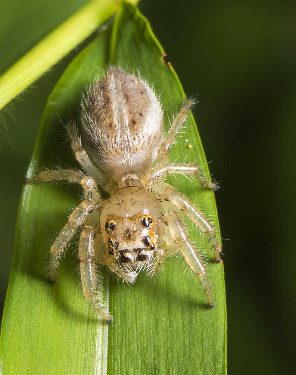 Colonus (puerperus)? jumping spider
