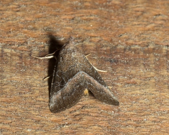 Common Pinkband, Ogdoconta cinereola