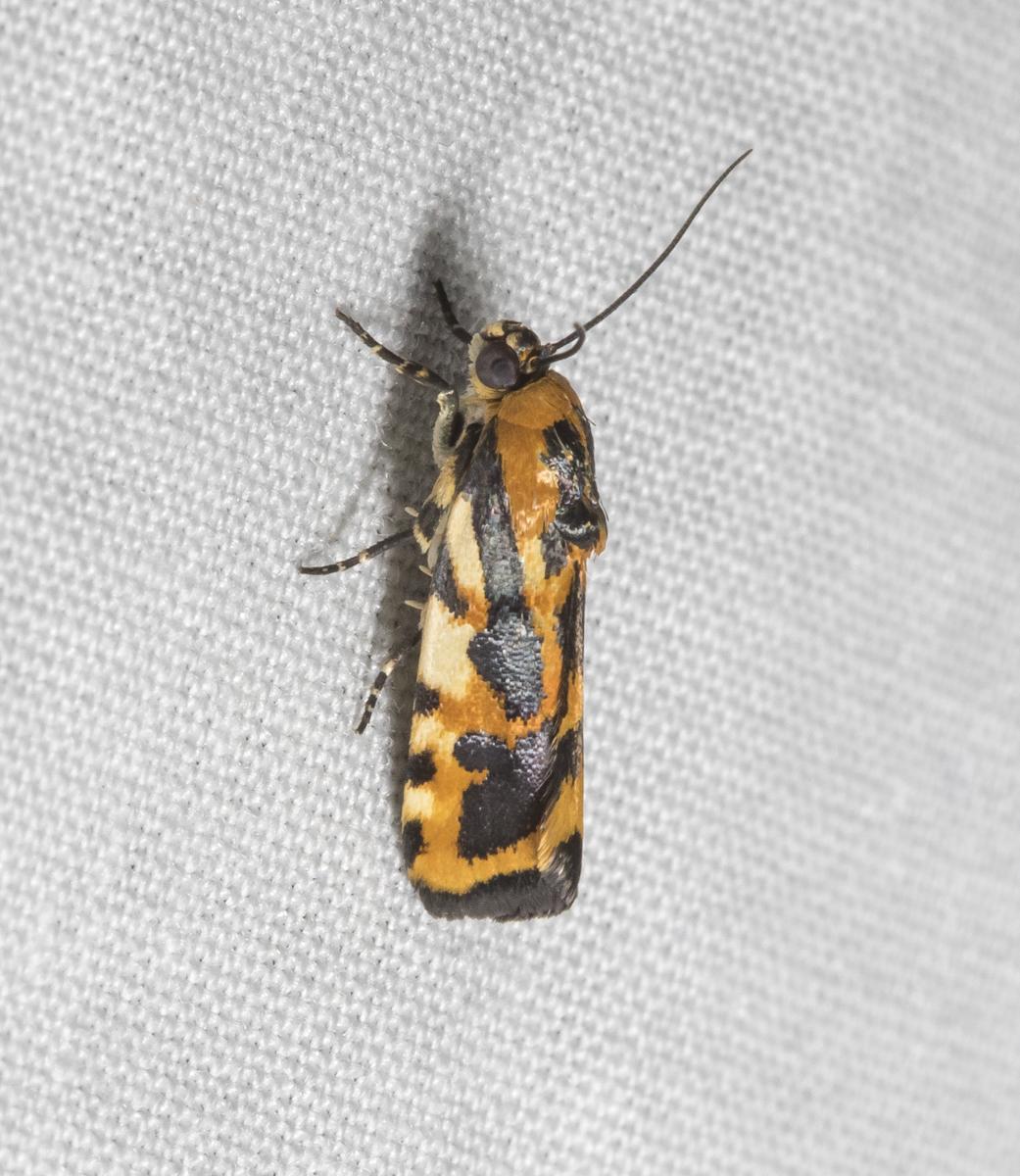 Common Spragueia Moth, Spragueia leo