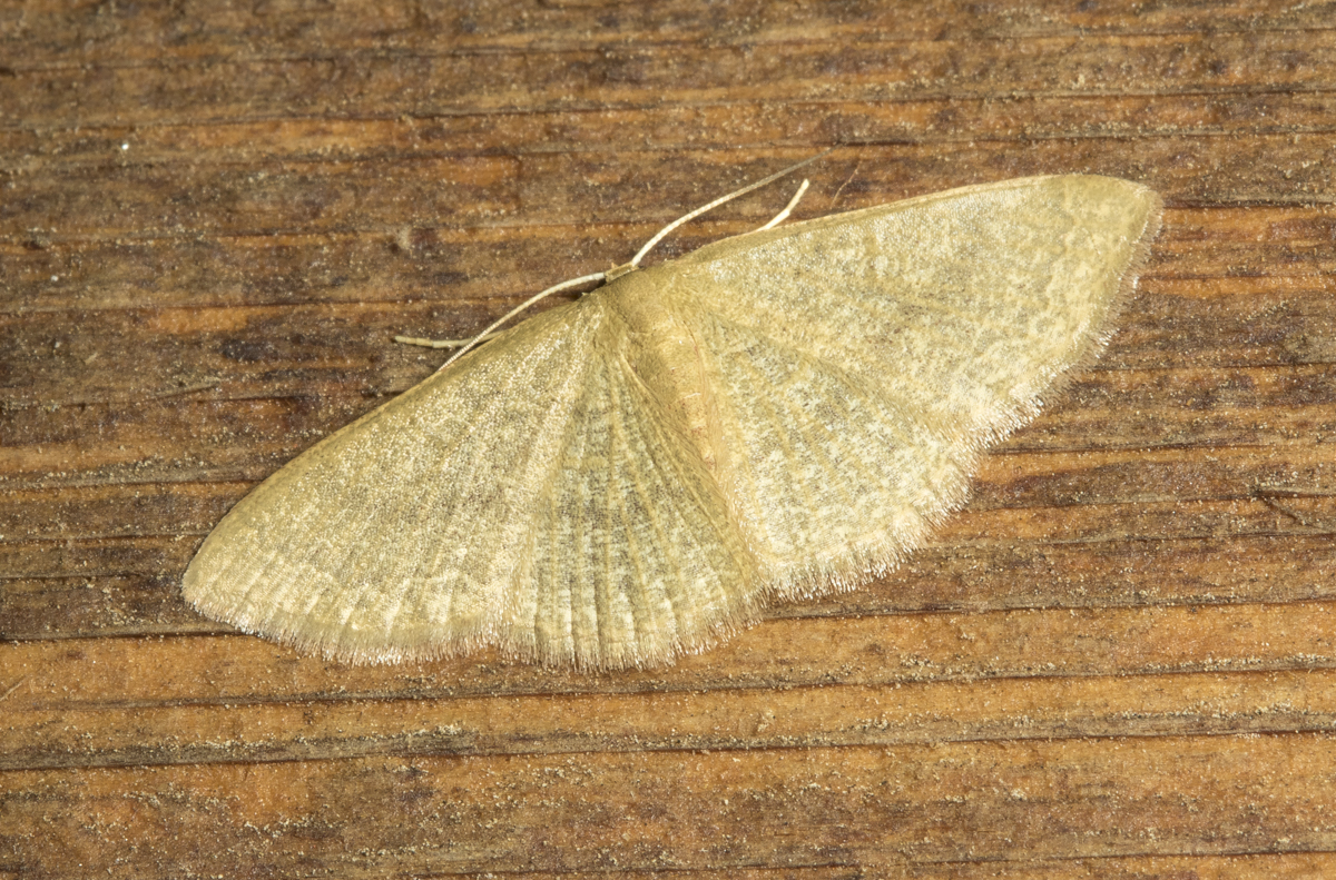 Common Tan Wave, Pleuroprucha insulsaria