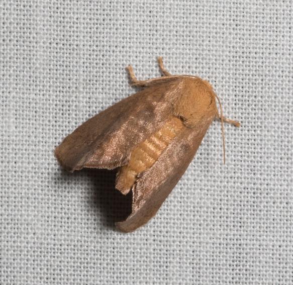 Crowned Slug Moth, Isa textula