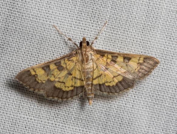 Darker Diacme Moth, Diacme adipaloides