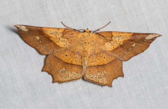 Deep Yellow Euchlaena Moth, Euchlaena amoenaria