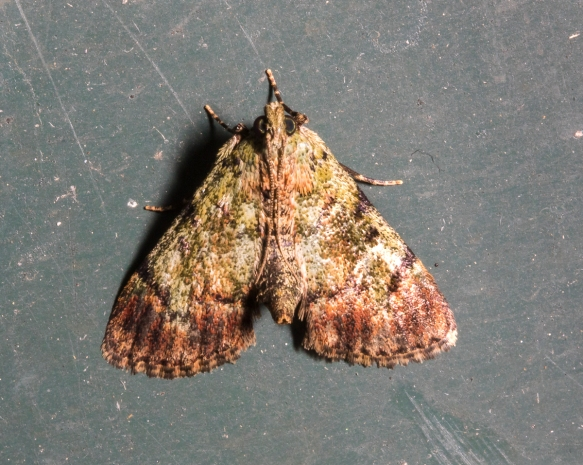 Dimorphic Macalla Moth, Epipaschia superatalis