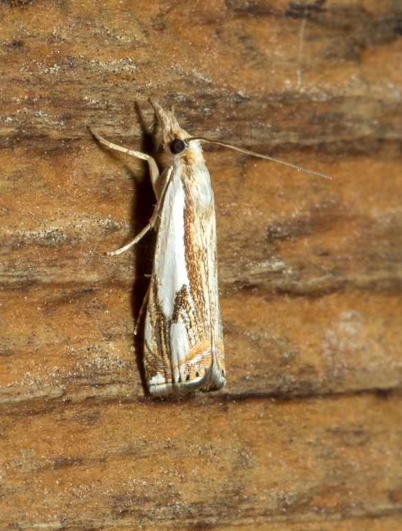 Double-banded Grass-veneer, Crambus agitatellus