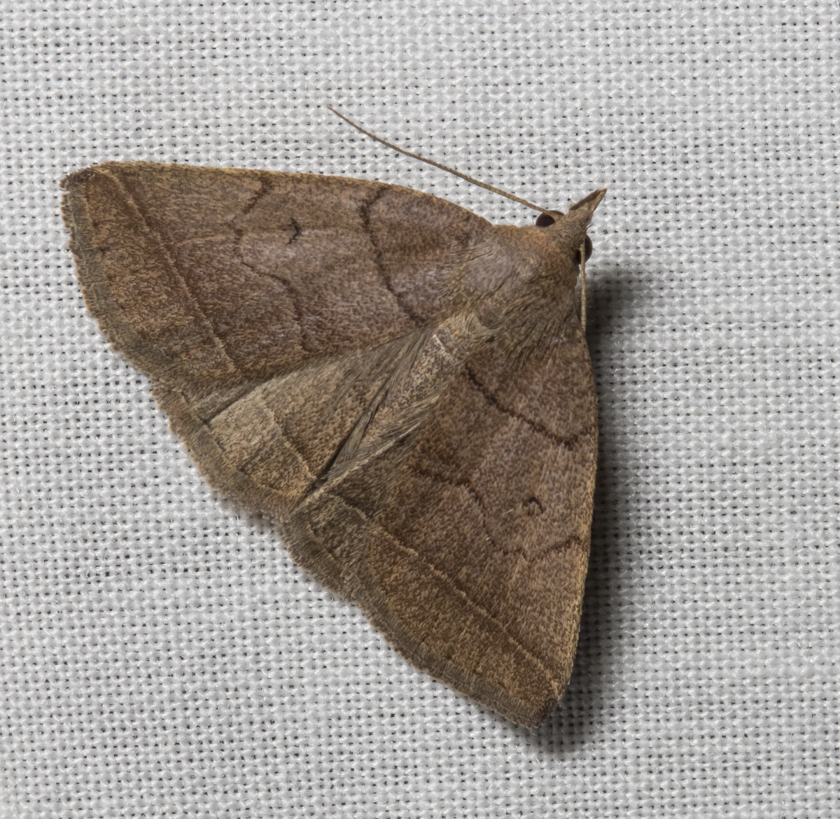 Early Fan-foot, Zanclognatha cruralis