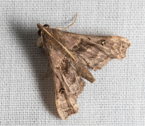 Faint-spotted Palthis Moth, Palthis asopialis