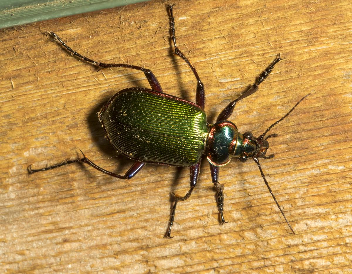 Fiery Searcher Beetle, Calosoma scrutator