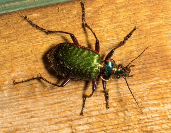 Fiery Searcher Beetle, Calosoma scrutator