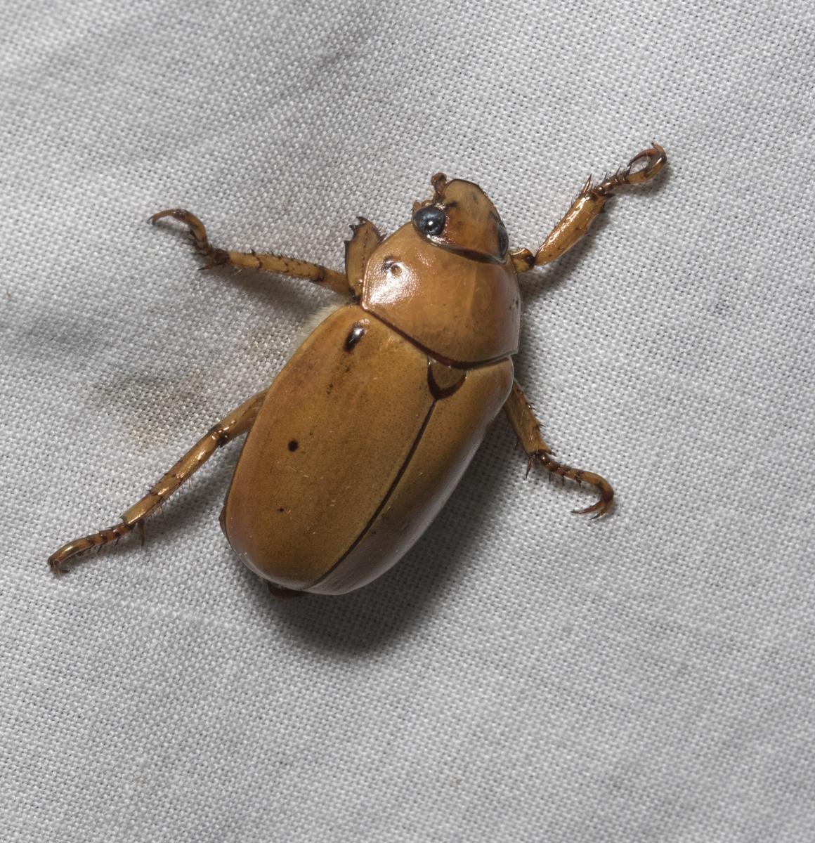 Grapevine Beetle, Pelidnota punctata